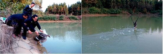 县林业局:城郊森林派出所对救助的斑嘴鸭进行野外放生