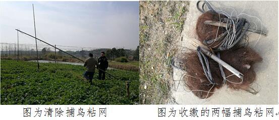 县林业局新杭森林派出所发现并拆除一条捕鸟粘网