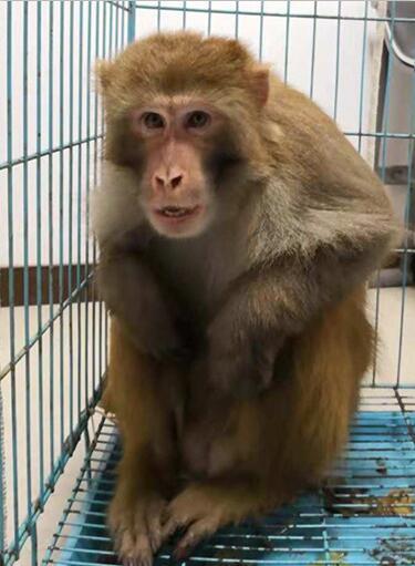 县森林公安成功救助一只国家二级保护动物猕猴