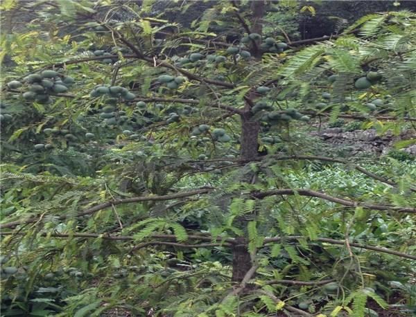 绩溪县三个香榧品种通过省林木品种审定委员会审(认)定